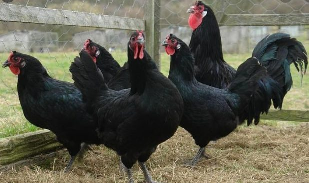 La Fleche Chicken is one of heritage chicken breeds because they have been known since the 20th century.