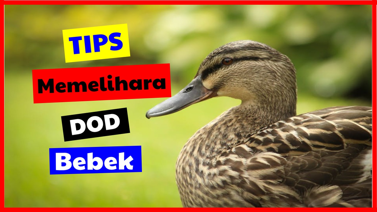 Tips memelihara DOD Bebek
