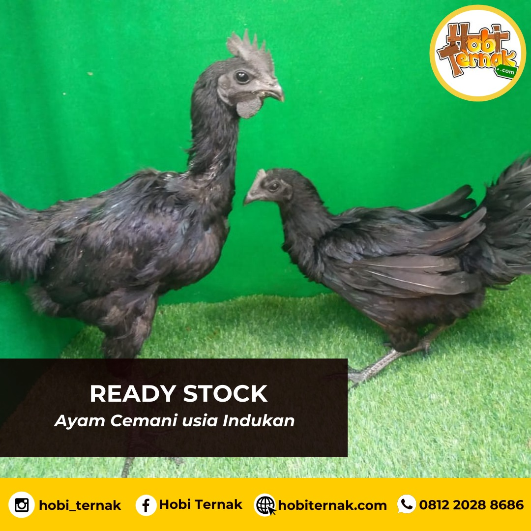 Not only for ornamental chicken that you can raise, but ayam cemani also produce good and healthy meat.