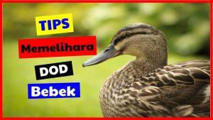 cropped Tips memelihara DOD Bebek HOBI TERNAK dod bebek word3