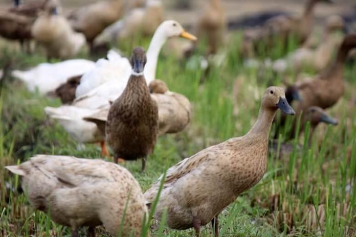 Pemeliharaan bebek yang sedang sakit harus segera mendapatkan peanganan khusus di kandang atau tempat yang berbeda | image 5