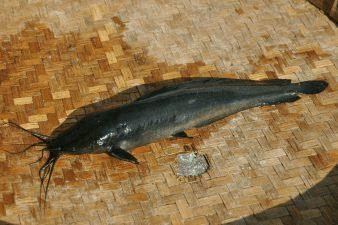 Ikan Lele Jawa yang berukuran kecil