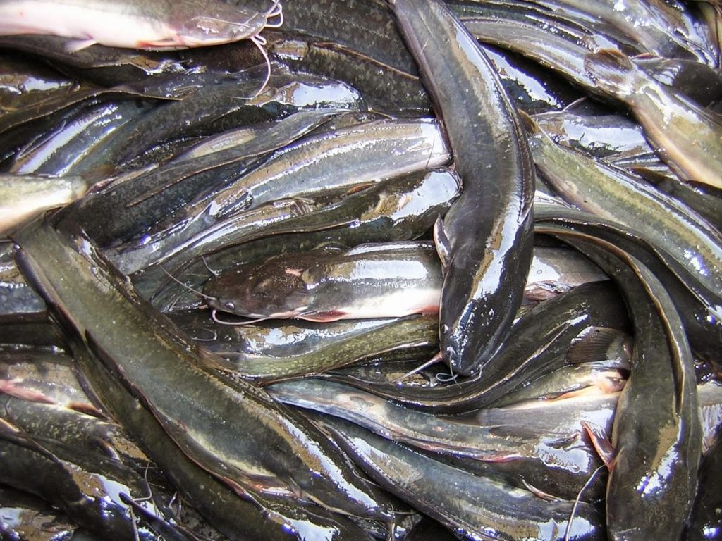 Memiliki kepala mirip seperti ular phyton, ikan lele ini di sebut lele phyton