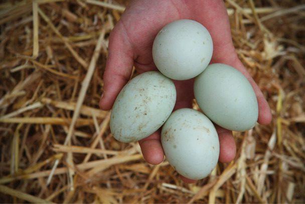 Bebek Mojosari merupakan salah satu bebek penghasil telur yang dikenal dengan produktifitasnya yang cukup tinggi | image 7