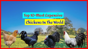 Top 10 Most Expensive Chicken In The World