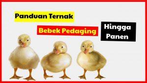 cropped Panduaan Ternak Bebek Pedaging Hingga Panen HOBI TERNAK Cara Beternak Bebek Pedaging word2
