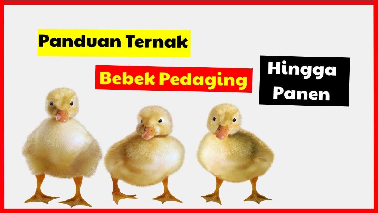 cropped Panduaan Ternak Bebek Pedaging Hingga Panen HOBI TERNAK Cara Beternak Bebek Pedaging word1