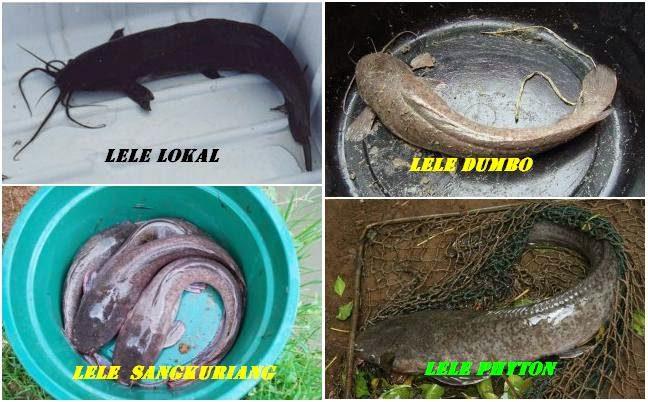 Jenis-jenis ikan lele yang terkenal di Indonesia
