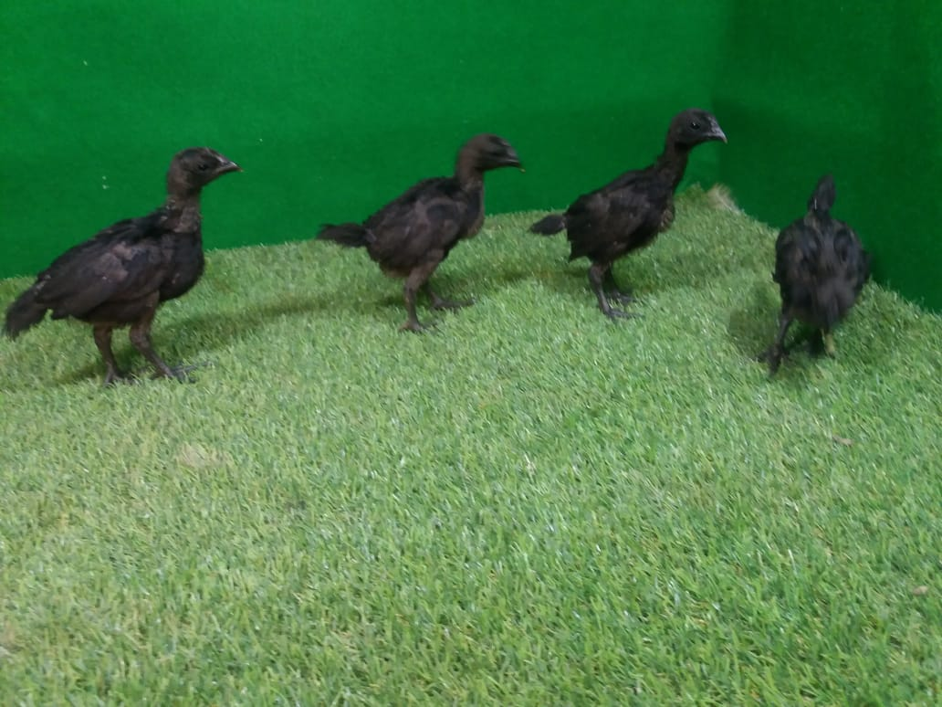 Cemani chicks certainly require more attention from you, so take care of them well. | Cemani chicks