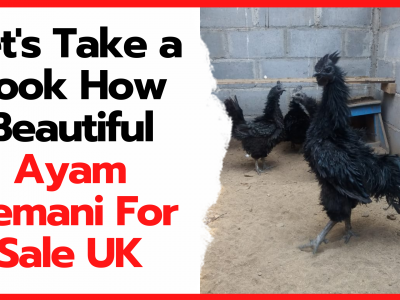Ayam cemani is indeed unique in that it has a jet black body color even to the inside of its body. | Featured Image