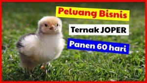 cropped peluang bisnis ternak ayam joper HOBI TERNAK Peluang Usaha Ternak Joper word3