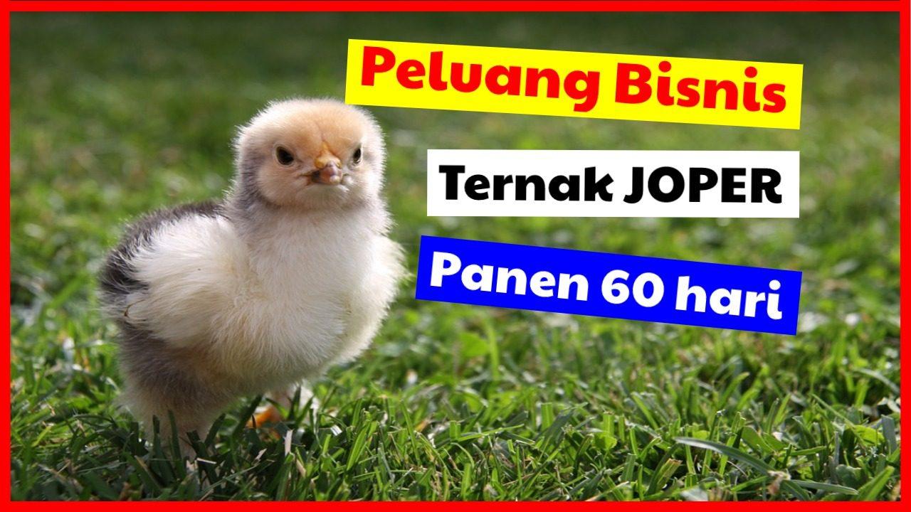 cropped peluang bisnis ternak ayam joper HOBI TERNAK Peluang Usaha Ternak Joper word2