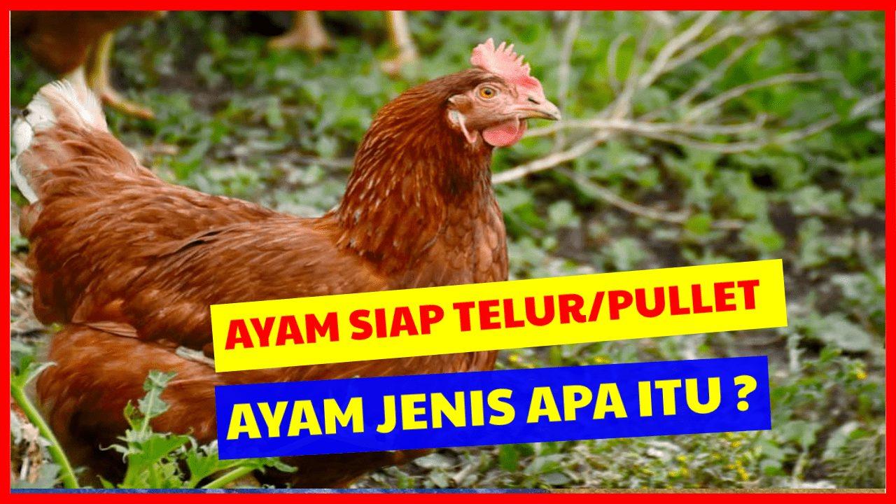 Ayam siap telur/ pullet