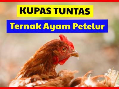 Kupas Tuntas Ternak Ayam Petelur