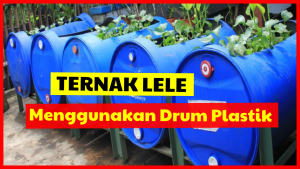 Ternak Lele dalam Drum Plastik