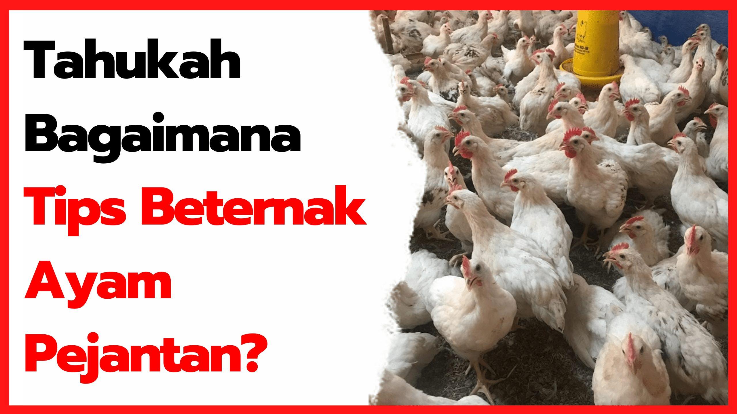 Tips Lengkap Untuk Mendapatkan Masa Panen Ayam Pejantan yang Singkat | thumbnail