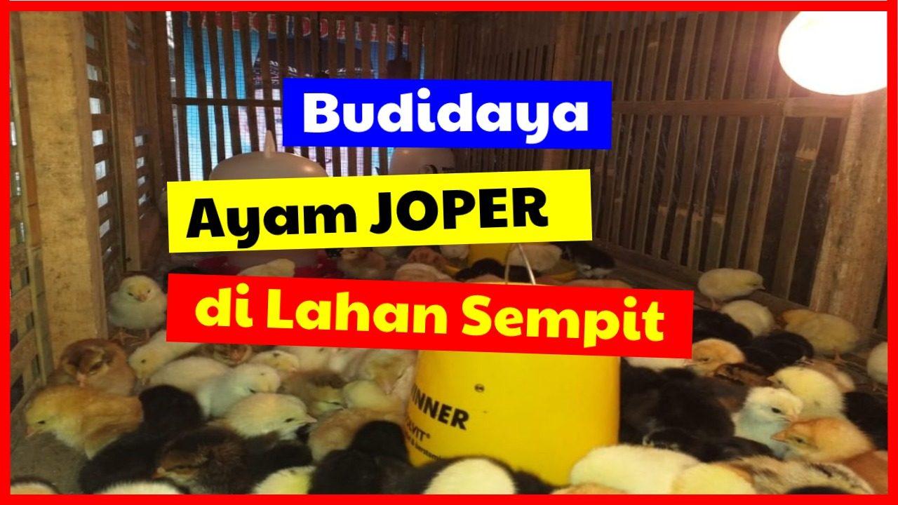 cropped budidaya joper di lahan sempit HOBI TERNAK joper word3