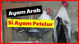 Ayam Arab Si Ayam Petelur