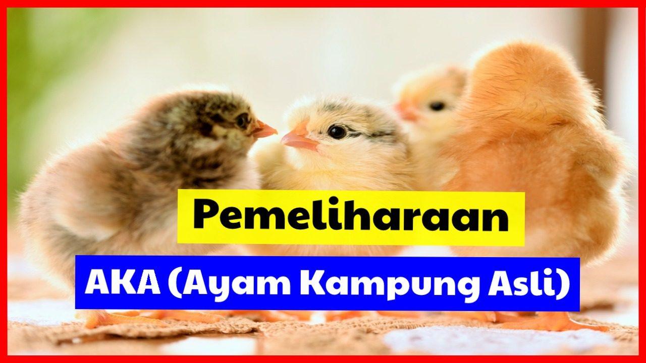 Cara Pemeliharaan Ayam Kampung Asli Agar Menghasilkan Panen yang Bagus