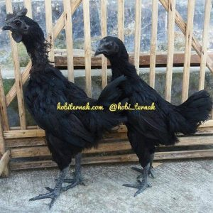 all black chicken-Ayam Cemani Usia 3 Bulan1
