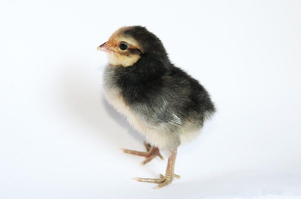 DOC Ayam Kampung Super (JOPER) usia baru saja menetas | Image 1