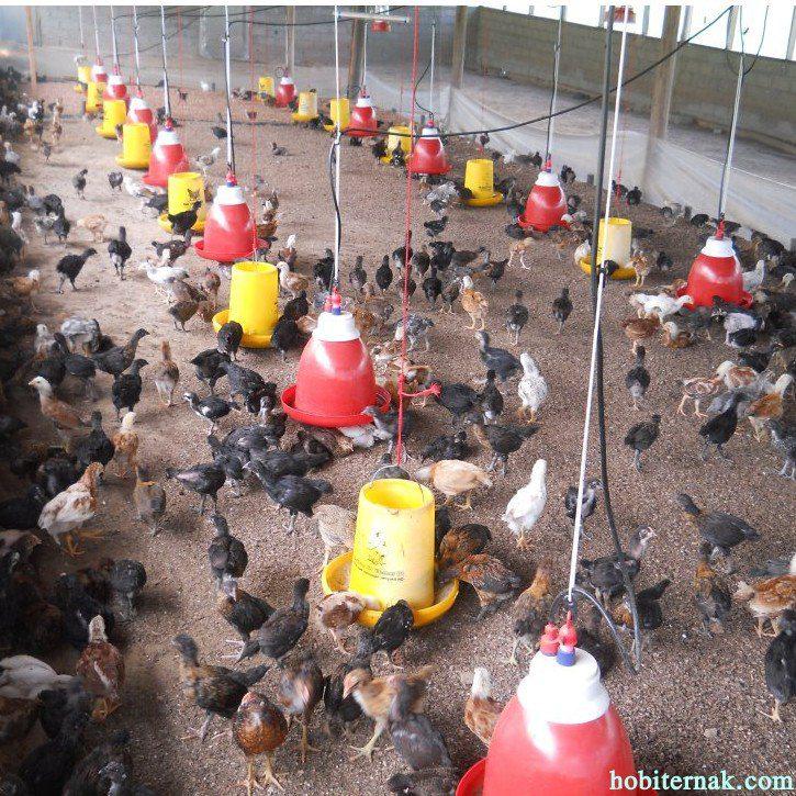 Salah satu penggunaan kandang tipe postal untuk ayam kampung super. | Image 6