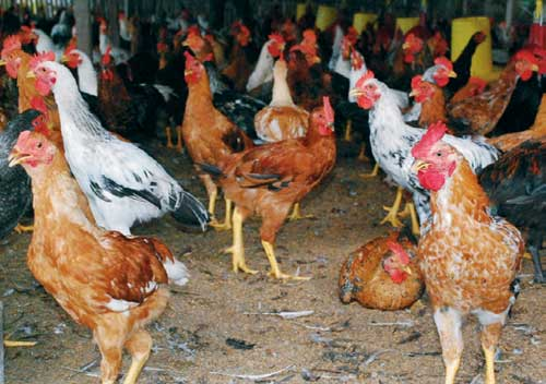 Ayam Joper yang menjadi kanibal mematuk temanya menjadi masalah tersendiri bagi peternak