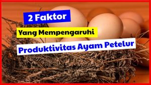 cropped 2 faktor yang mempengaruhi produktivits ayam petelur HOBI TERNAK Harga Bibit Ayam Petelur word1