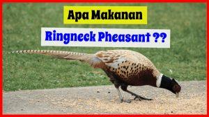 makanan ringneck pheasant 300x169 1 HOBI TERNAK makanan ringneck pheasant word1