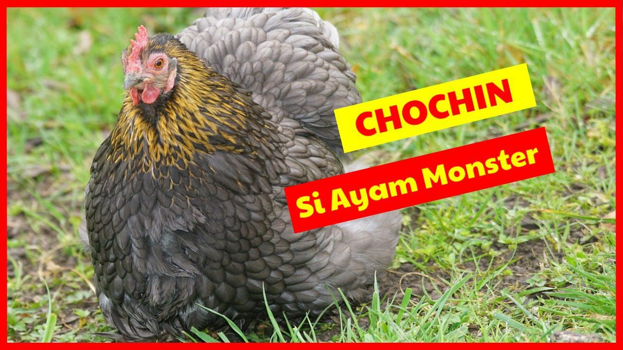 Ayam Cochin si Ayam Mosnter