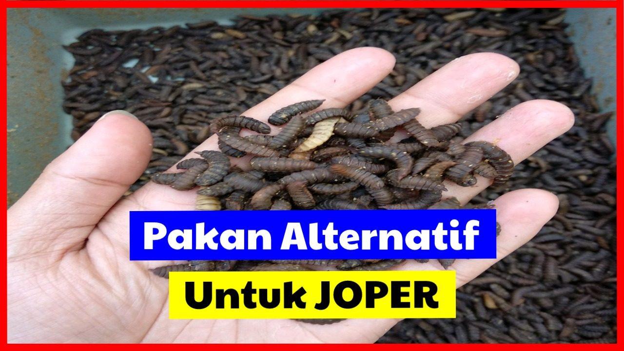 cropped jual burung merpati kipas 1 HOBI TERNAK Maggot BSF untuk pakan JOPER word2