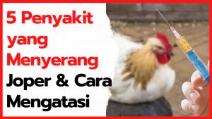 5 Penyakit yang Menyerang Ayam Kampung Super & Cara Mengatasinya
