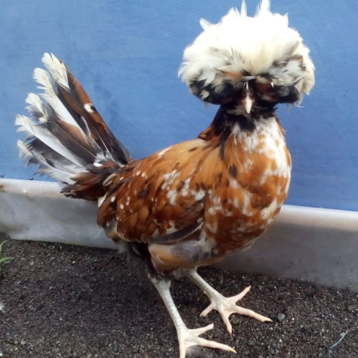 Ayam Poland 3 HOBI TERNAK daftar harga word2