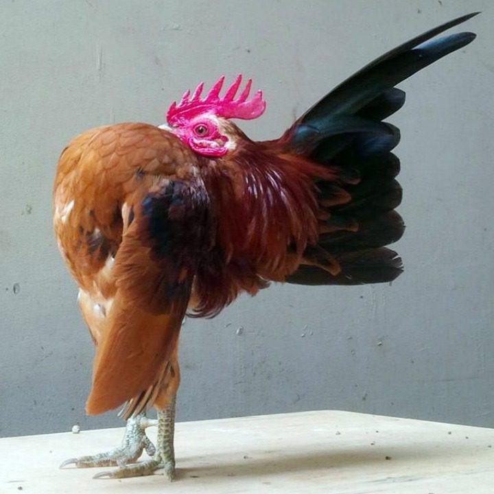 Ayam Serama Kontes