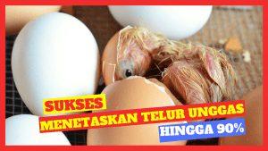 Kandang Ternak JOPER 3 300x169 1 HOBI TERNAK mesin penetas telur word1