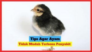 10 tips agar ayam tidak mudah terkena penyakit