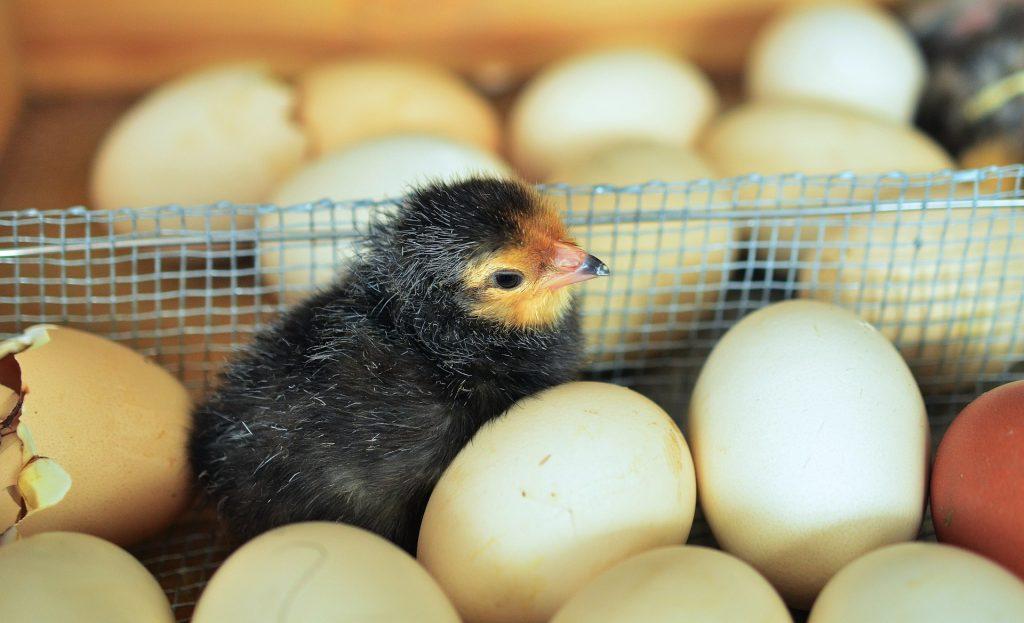 chicks 1280732 1920 HOBI TERNAK mesin penetas telur word1