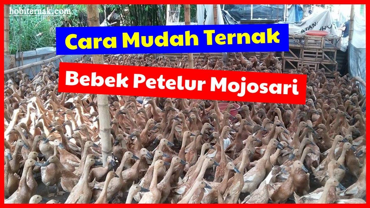 cropped Cara Mudah Ternak Bebek Petelur Mojosari HOBI TERNAK Cara Mudah Ternak Bebek Petelur Jenis Mojosari word2