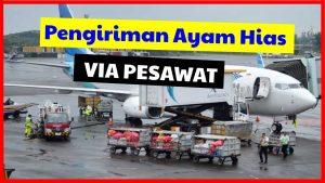 cropped Pengiriman ayam hias via pesawat 2 HOBI TERNAK pengambilan ayam hias via pesawat word2