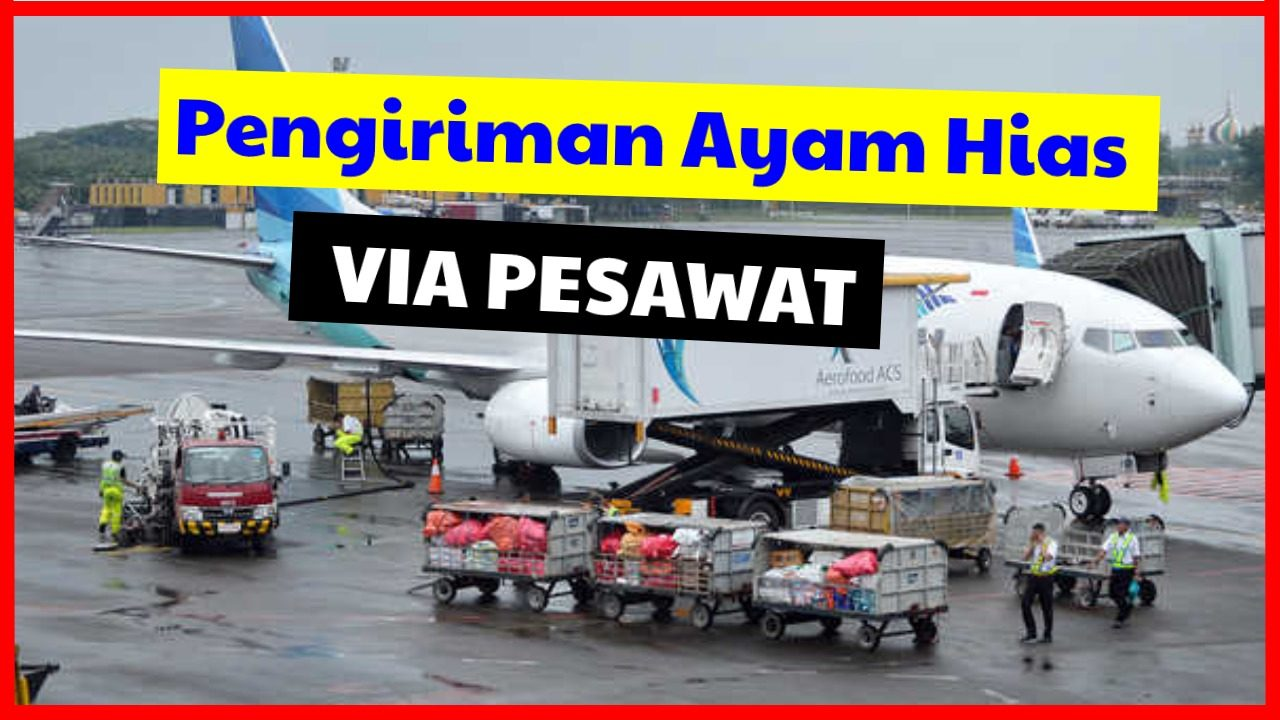 cropped Pengiriman ayam hias via pesawat 2 HOBI TERNAK pengambilan ayam hias via pesawat word1