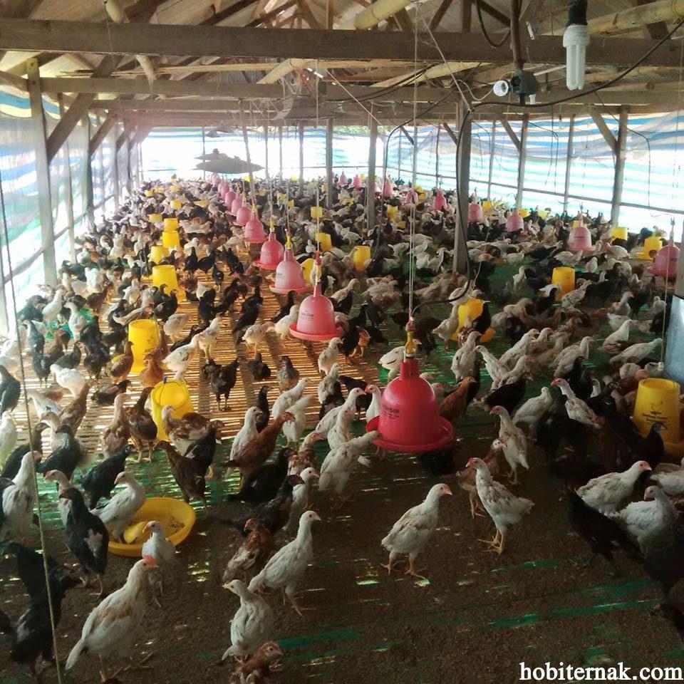 Ayam pedaging yang masa panennya cepat dan dagingnya juga enak yaitu jenis ayam Joper | Image 2