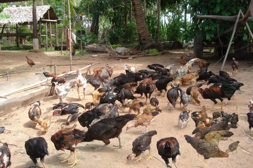 Pemeliharaan Sistem Ekstensif HOBI TERNAK Bibit Ayam Kampung Super word1