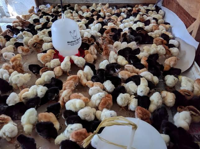 Ayam Joper persilangan dari ayam bangkok pejantan dengan petelur betina | Image 3