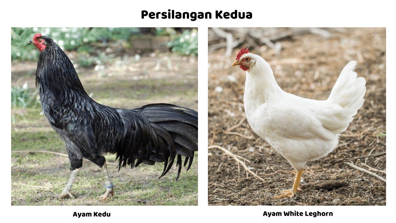 Persilangan antara ayam kedu dengan ayam white leghorn | Image 3