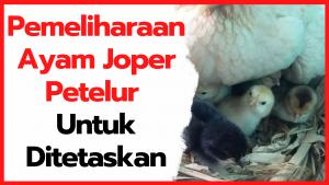Pemeliharaan Ayam Kampung Super Petelur Untuk Ditetaskan