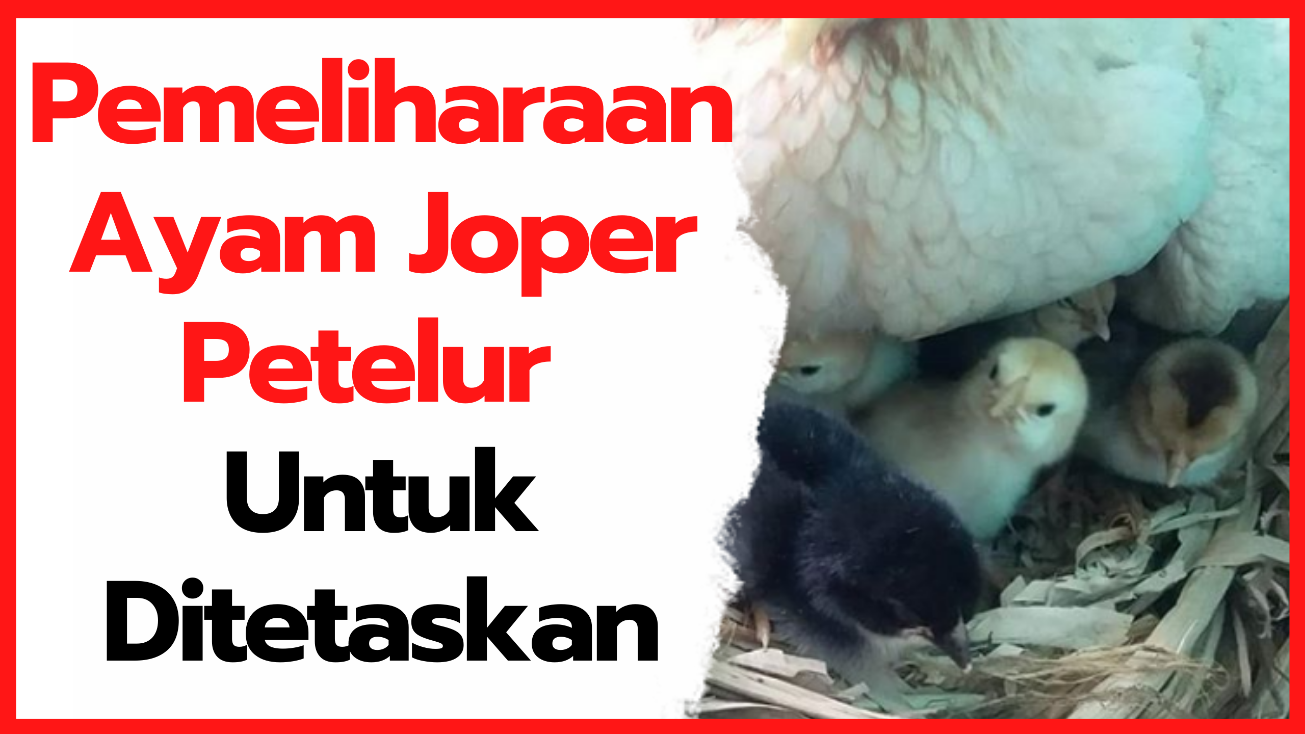 Pemeliharaan Ayam Joper Petelur Untuk Ditetaskan