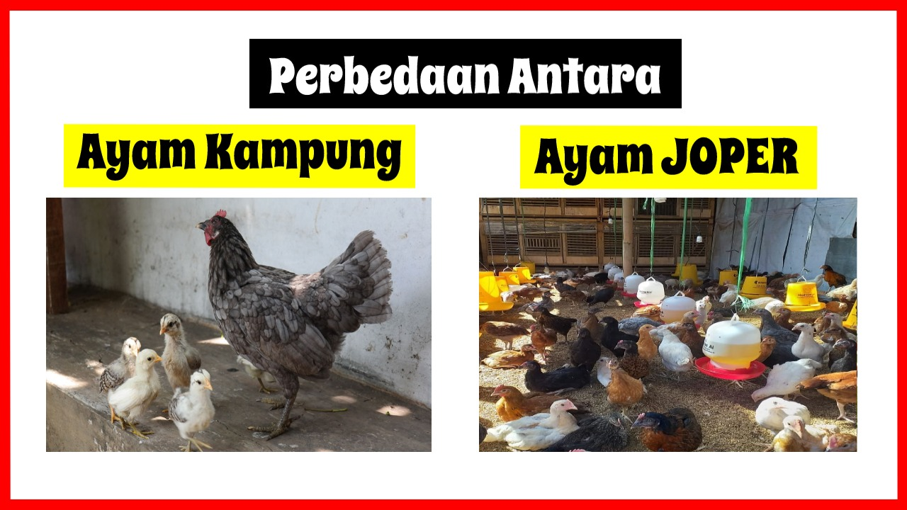 Apa Sih Perbedaan antara Ayam Kampung Super dengan Ayam Kampung Daging Biasa? | gambar 1