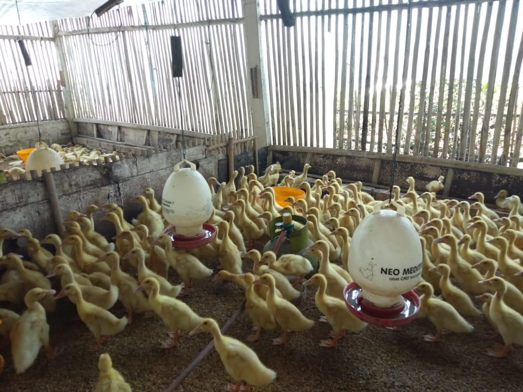 Usahakan agar peternak dapat mengatur jumlah kepadatan bebek, agar kotoran tidak mudah menumpuk dan bebek terhindari dari serangan penyakit | image 9