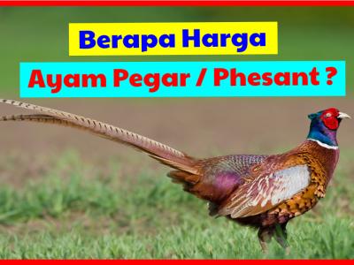 Berikut daftar harga ringneck pheasant