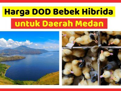 Harga DOD Bebek Hibrida untuk daerah Medan